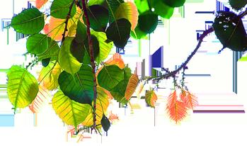 bodhi-leaves